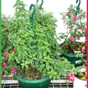 0 200mm hanging Basket green 4